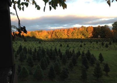 wholesale-christmas-trees-1