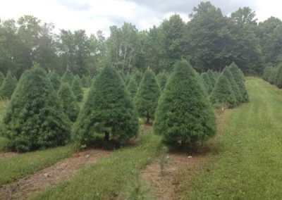 wholesale-christmas-trees-3